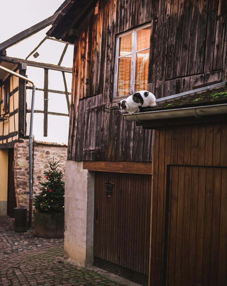 chat-dans-la-rue-eguisheim-cat-alsace-route-des-vins-et-des-chats
