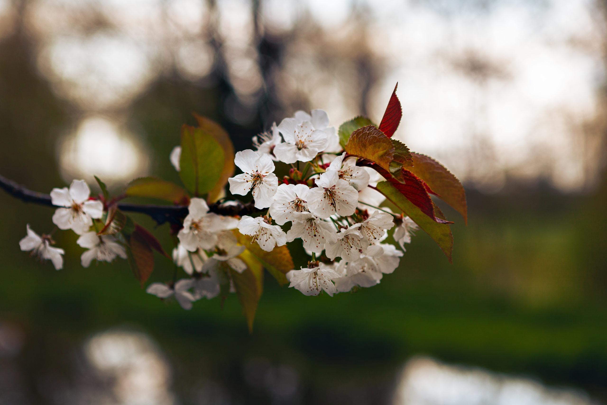fleurs-de-pruniers-source-de-la-somme-rigole-du-noirieux-aisne-saint-quentin-hauts-de-france-alex-stories